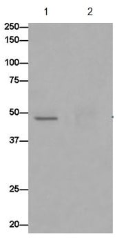 Immunoprecipitation - Anti-OVCA1 antibody [EPR15342] - BSA and Azide free (ab250862)