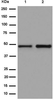 Western blot - Anti-OVCA1 antibody [EPR15342] - BSA and Azide free (ab250862)