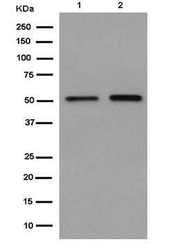 Western blot - Anti-SMYD1 antibody [EPR13573] - BSA and Azide free (ab250870)