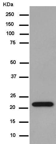 Western blot - Anti-NKp30 antibody [EPR14509] - BSA and Azide free (ab250880)