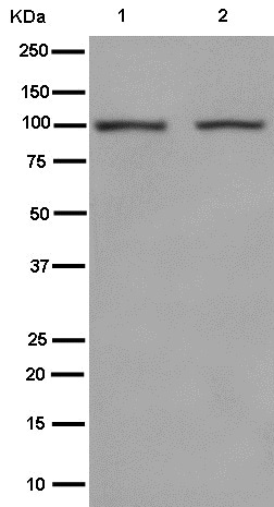 Western blot - Anti-Nesprin3 antibody [EPR15623] - BSA and Azide free (ab250898)