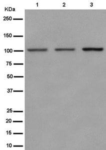 Western blot - Anti-Nesprin3 antibody [EPR15623-5] - BSA and Azide free (ab250902)