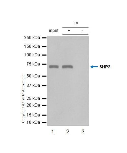 Immunoprecipitation - Anti-SHP2 antibody [EPR17829-9] - BSA and Azide free (ab250905)