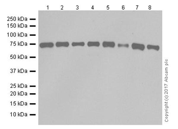 Western blot - Anti-SHP2 antibody [EPR17829-9] - BSA and Azide free (ab250905)