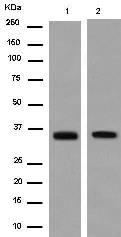 Western blot - Anti-Tropomyosin 2 antibody [EPR12845] - BSA and Azide free (ab250921)