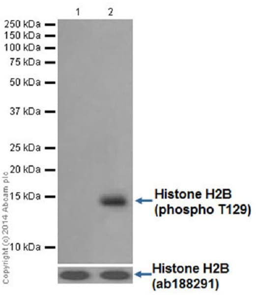 Western blot - Anti-Histone H2B (phospho T129) antibody [EPR18095] - BSA and Azide free (ab250945)