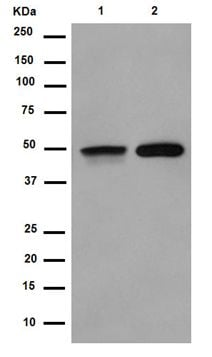 Western blot - Anti-FOXL2 antibody [EPR4837] - BSA and Azide free (ab250976)