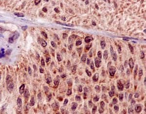 Immunohistochemistry (Formalin/PFA-fixed paraffin-embedded sections) - Anti-Hsp20 antibody [EPR14457] - BSA and Azide free (ab250977)