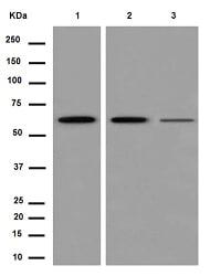 Western blot - Anti-PGM1 antibody [EPR15240] - BSA and Azide free (ab250979)
