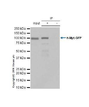 Immunoprecipitation - Anti-n-Myc/MYCN antibody [EPR18982-13] - BSA and Azide free (ab250996)