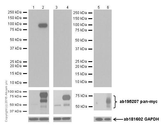 Western blot - Anti-n-Myc/MYCN antibody [EPR18982-13] - BSA and Azide free (ab250996)