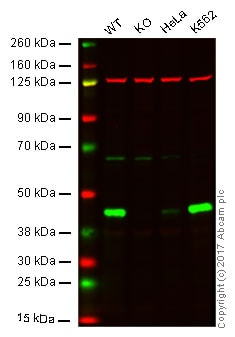 Western blot - Anti-Cystathionase/CTH antibody [EPR15468] - BSA and Azide free (ab251003)