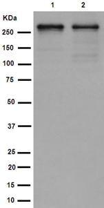 Western blot - Anti-PRPF8/Prp8 antibody [EPR15228] - BSA and Azide free (ab251012)