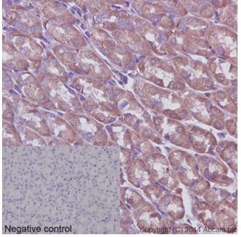 Immunohistochemistry (Formalin/PFA-fixed paraffin-embedded sections) - Anti-ABCF1 antibody [EPR16068] - BSA and Azide free (ab251040)
