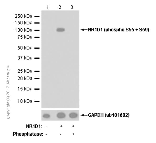 Western blot - Anti-NR1D1 (phospho S55 + S59) antibody [EPR18346-44] - BSA and Azide free (ab251057)