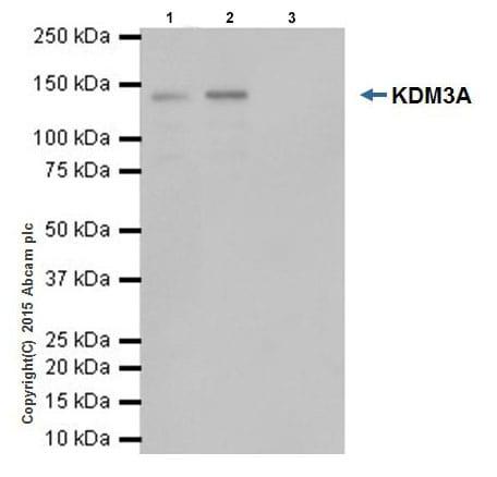 Immunoprecipitation - Anti-KDM3A / JHDM2A antibody [EPR18875] - BSA and Azide free (ab251059)