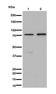 Western blot - Anti-SCIN antibody [EPR16309] - BSA and Azide free (ab251061)