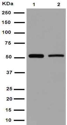 Western blot - Anti-Septin 8 antibody [EPR16099] - BSA and Azide free (ab251065)