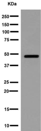 Western blot - Anti-Arfaptin-1 antibody [EPR16360] - BSA and Azide free (ab251081)