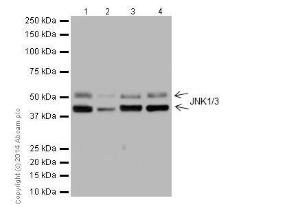 Western blot - Anti-JNK1 + JNK3 antibody [EPR16797-194] - BSA and Azide free (ab251093)