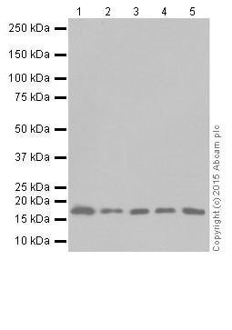 Western blot - Anti-GABARAPL1+GABARAPL3 antibody [EPR18869] - BSA and Azide free (ab251099)