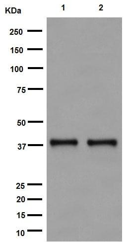 Western blot - Anti-TSSK2 antibody [EPR16116] - BSA and Azide free (ab251108)