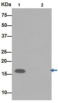 Immunoprecipitation - Anti-TIMM17A/TIM17 antibody [EPR16098] - BSA and Azide free (ab251117)