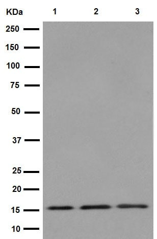 Western blot - Anti-TIMM17A/TIM17 antibody [EPR16098] - BSA and Azide free (ab251117)