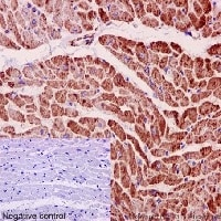 Immunohistochemistry (Formalin/PFA-fixed paraffin-embedded sections) - Anti-MGST3 antibody [EPR12352] - BSA and Azide free (ab251124)