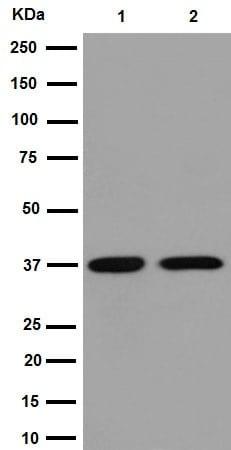 Western blot - Anti-Otx1 antibody [EPR7427(N)] - BSA and Azide free (ab251127)