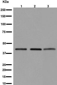 Western blot - Anti-eIF3g antibody [EPR16147] - BSA and Azide free (ab251137)