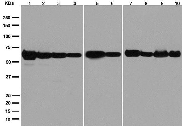Western blot - Anti-PGM1 antibody [EPR15241] - BSA and Azide free (ab251158)