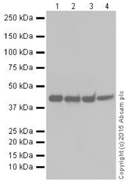 Western blot - Anti-KAT1 / HAT1 antibody [EPR18661] - BSA and Azide free (ab251166)