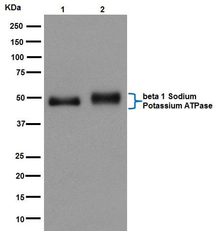 Western blot - Anti-ATP1B1 antibody [EPR12195] - BSA and Azide free (ab251176)