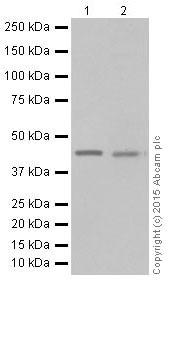 Western blot - Anti-KAT1 / HAT1 antibody [EPR18775] - BSA and Azide free (ab251185)