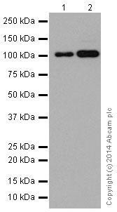 Western blot - Anti-TAF5 antibody [EPR15433] - BSA and Azide free (ab251201)