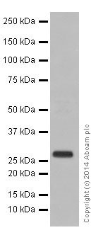 Western blot - Anti-RABL3 antibody [EPR16708] - BSA and Azide free (ab251243)