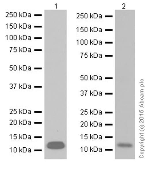 Western blot - Anti-SAA1 + SAA2 antibody [EPR19235] - BSA and Azide free (ab251264)