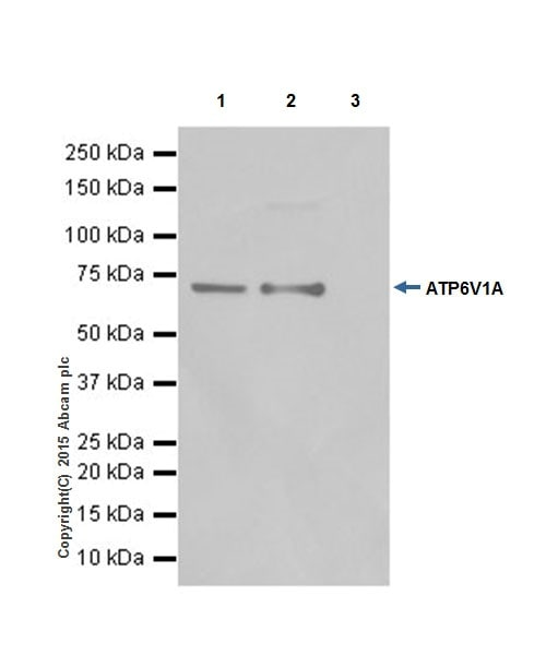 Immunoprecipitation - Anti-ATP6V1A antibody [EPR19271] - BSA and Azide free (ab251266)