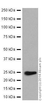Western blot - Anti-RAB5C/RABL antibody [EPR17321] - BSA and Azide free (ab251279)