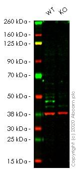 Western blot - Anti-ATG4B antibody [EPR16572] - BSA and Azide free (ab251285)