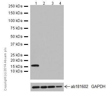 Western blot - Anti-Map17 antibody [EPR16827] - BSA and Azide free (ab251286)