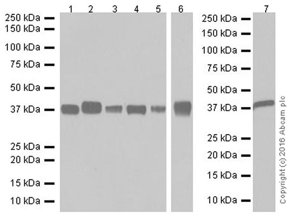 Western blot - Anti-Aldolase+Aldolase C antibody [EPR19355] - BSA and Azide free (ab251296)