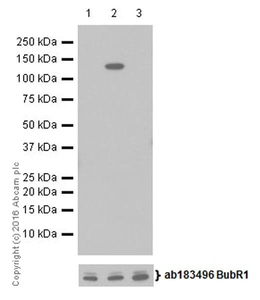 Western blot - Anti-BubR1 (phospho T680) antibody [EPR19958] - BSA and Azide free (ab251297)