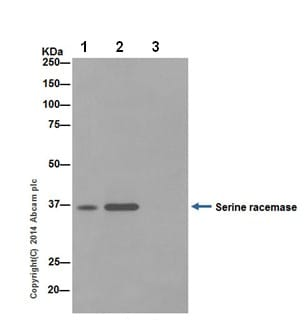 Immunoprecipitation - Anti-Serine racemase antibody [EPR16682] - BSA and Azide free (ab251323)