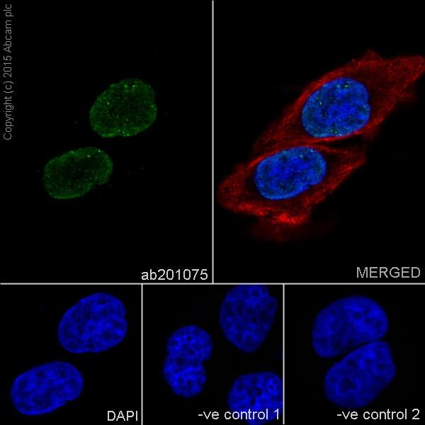 Immunocytochemistry - Anti-Histone H4 antibody [EPR17905(R)] - BSA and Azide free (ab251336)