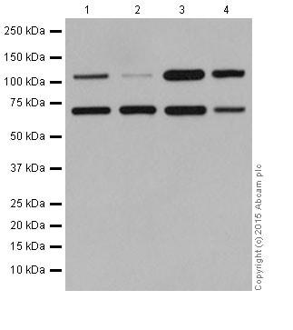 Western blot - Anti-NABC1 antibody [EPR15441(2)] - BSA and Azide free (ab251343)