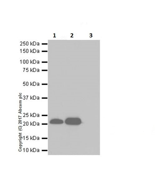 Immunoprecipitation - Anti-HP1 gamma/CBX3 (citrulline R108) antibody [EPR19802-202] - BSA and Azide free (ab251364)