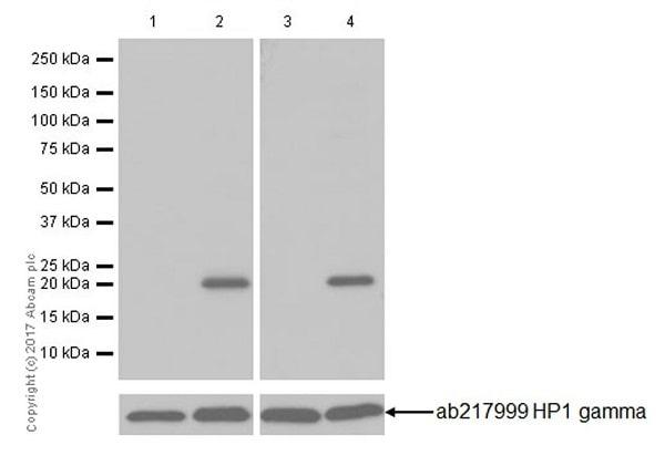 Western blot - Anti-HP1 gamma/CBX3 (citrulline R108) antibody [EPR19802-202] - BSA and Azide free (ab251364)
