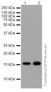 Western blot - Anti-Histone H3 (mono methyl K14) antibody [EPR17708-235] - BSA and Azide free (ab251366)